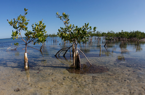 Mangrove_restoration_hubick_browse